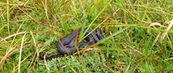 Slow Viper