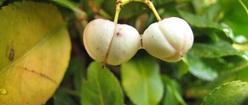Fruit Euonymus