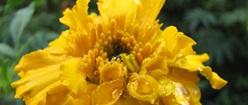 Marigold Yellow in the Rain