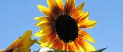 Sunflower on Sky Backgound
