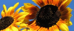 Sunflowers with a Fly
