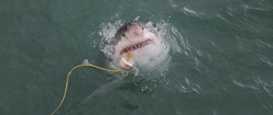Great White Shark at Gansbaai