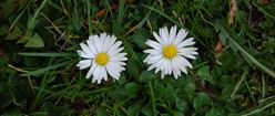 Two Daisies in the Grass