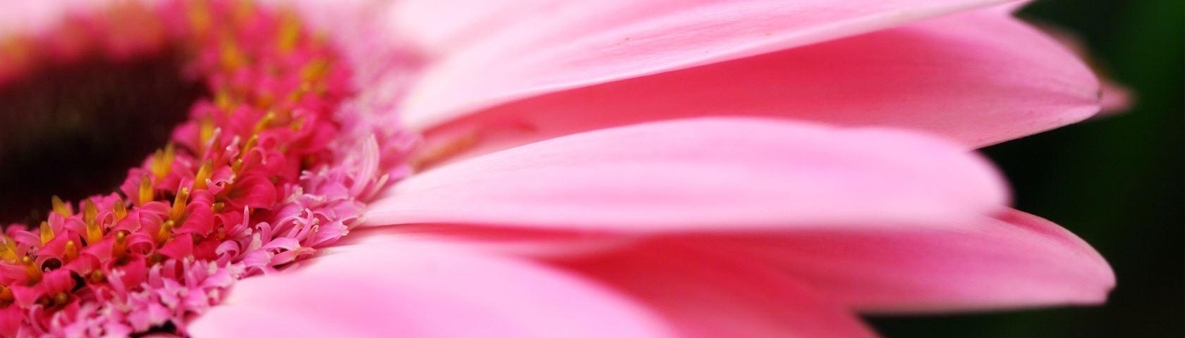 Light pink gerber daisy