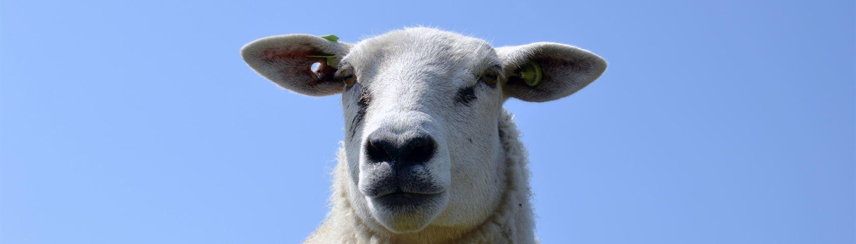 Terschelling Sheep