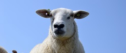 Terschelling Sheep