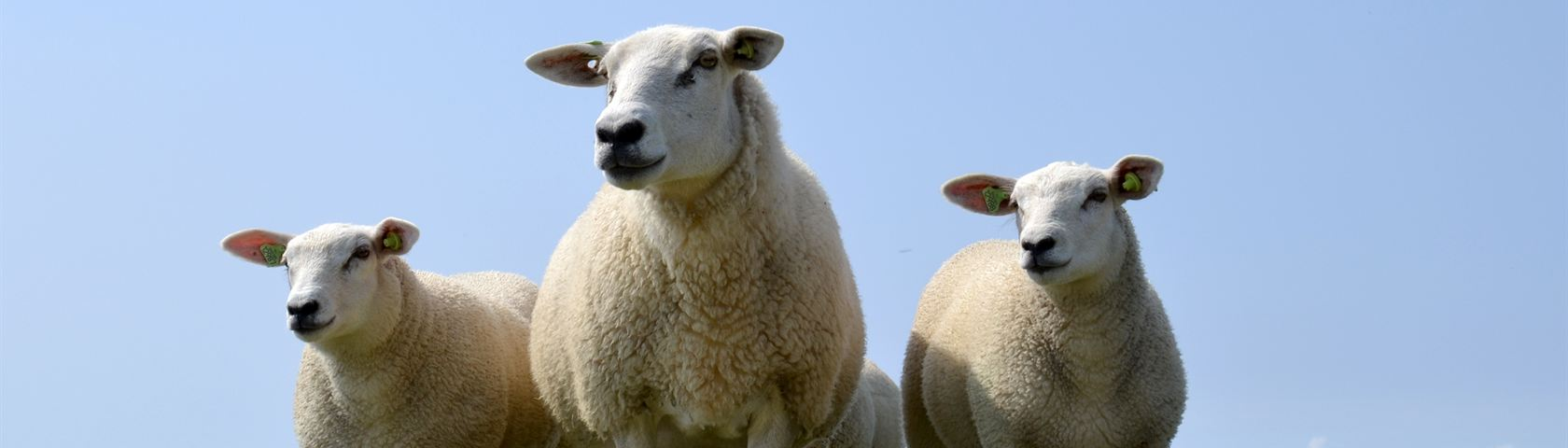 Sheep of Terschelling