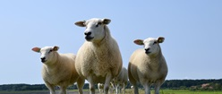 Sheep of Terschelling