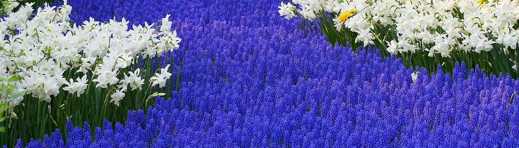Grape Hyacinths & Daffodils