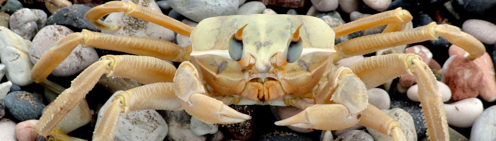 Crab on a Stoney Beach