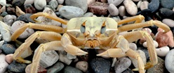 Crab on a Stoney Beach