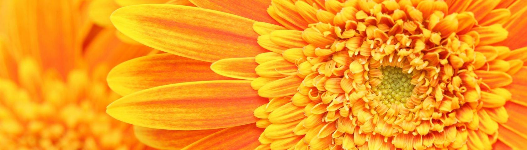 Orange-Yellow Gerbera Daisy