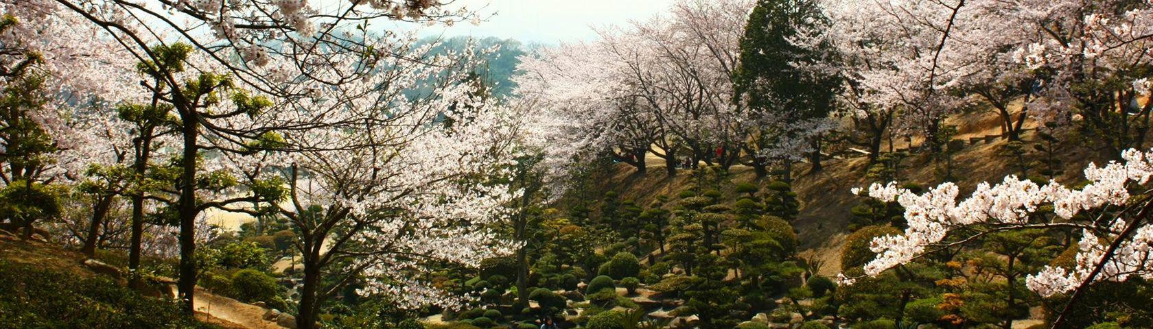 Flowering Cherry Trees in Tamashima Japan
