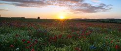 Sunrise Over a Poppy Field