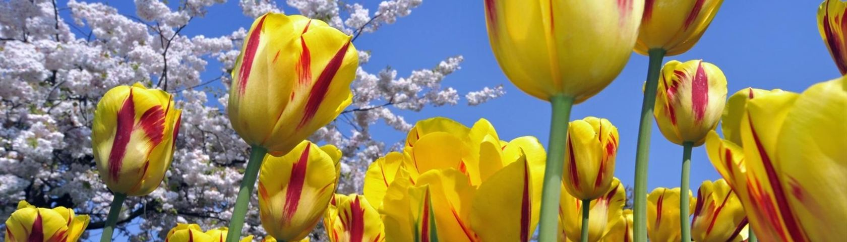 Red Streaked Tulips