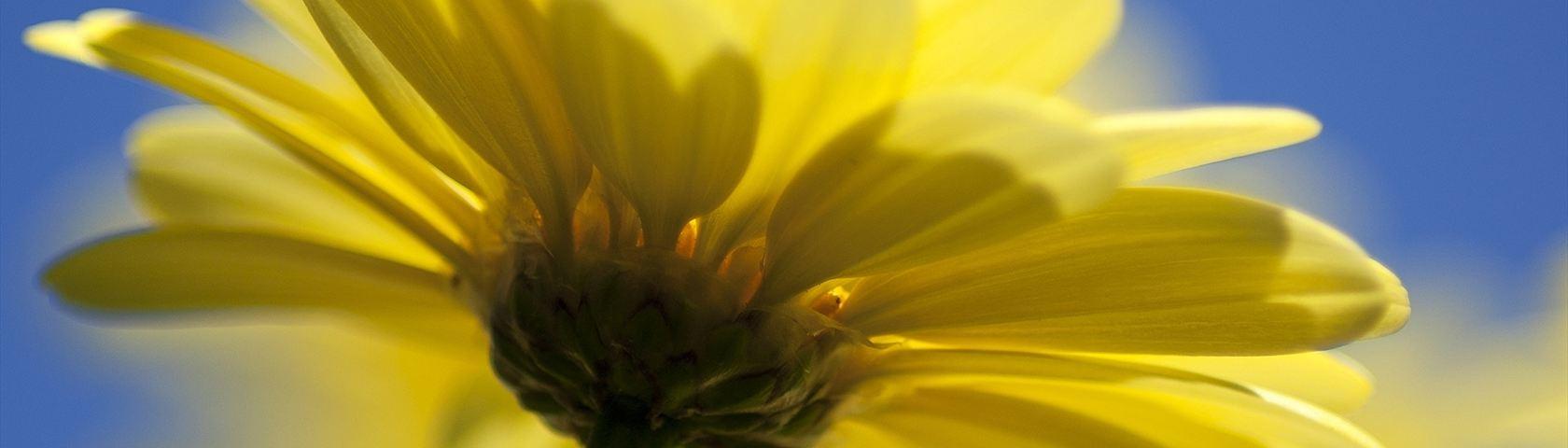 Single Yellow Daisy