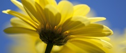 Single Yellow Daisy
